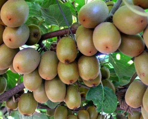 Fertilize kiwi trees